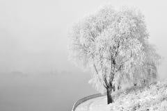 Winter scene. White frozen tree on a misty winter day Stock Image