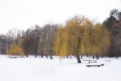 Winter scene. Of an ice covered lake with weeping willow tree on the waters edge Royalty Free Stock Photo