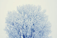 Winter scene. Of an old tree on a foggy morning Stock Photography