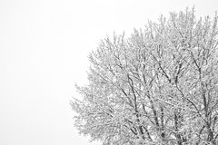 Winter scene. Of an old tree on a foggy morning with space for copy Royalty Free Stock Image