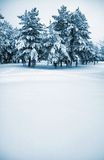 Winter scene. Wintry pine trees covered with snow Royalty Free Stock Photography