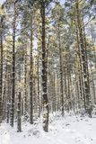 Winter scene at Abernethy Forest in the Cairngorms. Winter scene at Abernethy Forest in the Cairngorms National Park of Scotland Royalty Free Stock Photos