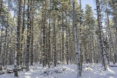 Winter scene at Abernethy Forest in the Cairngorms. Winter scene at Abernethy Forest in the Cairngorms National Park of Scotland Royalty Free Stock Photo