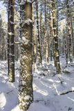 Winter scene at Abernethy Forest in the Cairngorms. Winter scene at Abernethy Forest in the Cairngorms National Park of Scotland Stock Image
