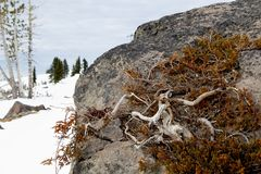 Dead juniper on alpine rocks royalty free stock photography