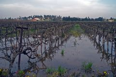Winter scene flooded vineyard  Royalty Free Stock Photography