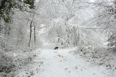 A winter scene of the footpath and the trees covered in snow and an English Springer Spaniel Dog walking in Balls Wood, Hertford H. A winter scene of the Royalty Free Stock Photography