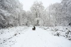 A winter scene of the footpath and the trees covered in snow and an English Springer Spaniel Dog and his owner walking in Balls Wo. A winter scene of the Stock Photos