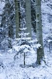 Single pine tree covered with snow in the forest Stock Photography