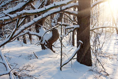 Winter scene in forest Royalty Free Stock Photos