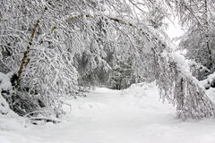 Winter scene of forest trees and snow Stock Photos