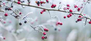Winter scene. With frosty plants Stock Photos