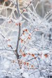 Winter scene with frosty plants. Beautiful, white.  royalty free stock image