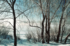 Winter scene -frosty snowy trees near the river at the winter sunrise Royalty Free Stock Photography