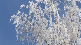 Frozen Branch of Birch Tree Covered Fresh Snow. Winter scene. Frozen branch of birch tree covered fresh snow. Sunny winter day stock footage
