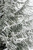 Winter scene with frozen conifer branches. Covered in hoarfrost Stock Image