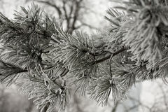 Winter scene with frozen conifer branches. Covered in hoarfrost Stock Photography