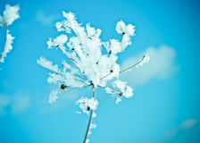 Winter scene. Frozen flower close up Stock Images