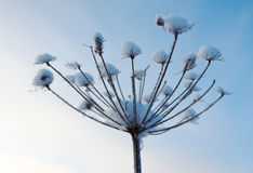 Winter scene .Frozenned flower Royalty Free Stock Photography