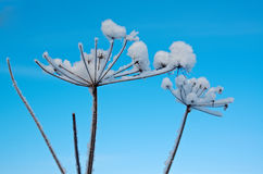 Winter scene .Frozenned flower Royalty Free Stock Image