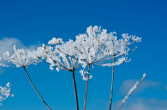 Winter scene. Frozenned flower close up Royalty Free Stock Photography