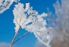 Winter scene. Frozenned flower close up Royalty Free Stock Photos