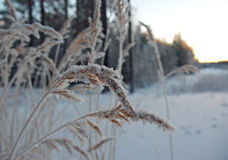 Winter scene .Frozenned flower . Pine forest and sunset Royalty Free Stock Images