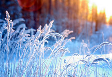 Winter scene. Frozenned flower .pine forest and sunset Stock Images