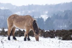 Brown wild horse eating grass in winter landscape Royalty Free Stock Photos
