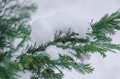 Winter scene with ice covered conifer. Conifer covered with snow in winter outdoor Royalty Free Stock Image