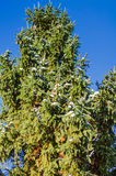 Winter scene with ice covered conifer. Conifer covered with snow in winter outdoor Royalty Free Stock Photos