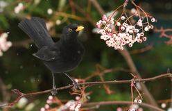 A winter scene of a stunning male Blackbird Turdus merula perched on a branch of a mountain Ash tree in a snowstorm. It has been. A winter scene of a male Royalty Free Stock Photography