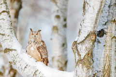 Winter scene with owl. Big Eastern Siberian Eagle Owl, Bubo bubo sibiricus, sitting on hillock with snow in the forest. Birch tree. With owl, Russia royalty free stock image