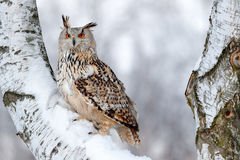 Winter scene with owl. Big Eastern Siberian Eagle Owl, Bubo bubo sibiricus, sitting on hillock with snow in the forest. Birch tree. With owl Stock Photos