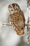 Winter scene with owl in the forest. Tawny Owl snow covered in snowfall during winter, tree trunk with snow. Owl with snow. Winter royalty free stock images