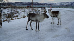 Winter scene:  a pair of reindeers on an icy road with a view of a fiord in Tromso, Norway Stock Photos