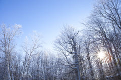 Winter scene. Picture of a house hidden in a frozen forest, during late afternoon in winter. The camera was tilted towards the sky to capture the tree branches Royalty Free Stock Image