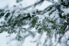 Winter scene - pine branches covered with snow. Stock Photos