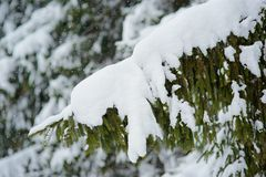 Winter scene - pine branches covered with snow. Stock Image
