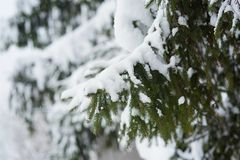 Winter scene - pine branches covered with snow. Stock Photo