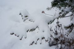 Winter scene - pine branches covered with snow. Stock Images