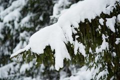 Winter scene - pine branches covered with snow. Royalty Free Stock Photo