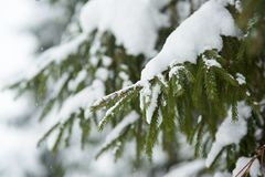 Winter scene - pine branches covered with snow. Royalty Free Stock Images
