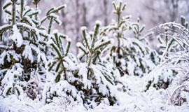 Winter scene with pine trees covered in snow. Scene with natural pine trees covered in snow stock photos