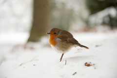 Winter scene of robin in snow Stock Photo