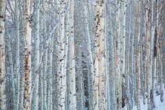 Bare Trees in Winter Snow. Snow covered Aspen trees in the woods on a winter day Royalty Free Stock Photography