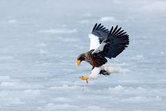 Winter scene with snow and eagle. Flying rare eagle. Steller`s sea eagle, Haliaeetus pelagicus, flying bird of prey, with blue sk. Winter scene with snow and Stock Image