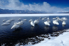 Winter scene with snow and ice in the lake, foggy mountain in the background, Hokkaido, Japan. Wide wildlife scene with swans. Who Stock Photo
