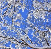 Winter scene with snowy branches. Against beautiful blue and clear sky Royalty Free Stock Image