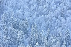 Winter scene with snowy spruces and beech. Half of the photo is spruce and the other half are beech Royalty Free Stock Photos
